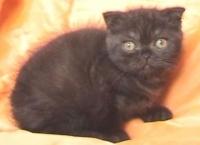 Шотландско мъжко котенце