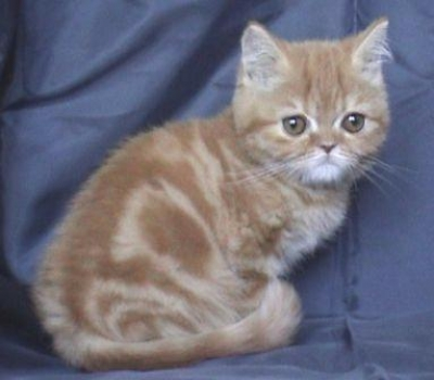 Персийско червено котенце