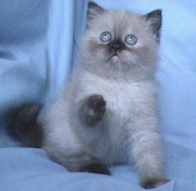 Женски колорпойнт със сини очи