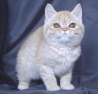 Персийско късокосместо бежово котенце