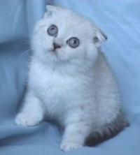 Chinchila - klepouho myzhko kote