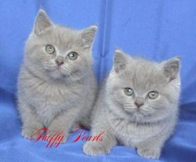 Британски лилави късокосмести котета
