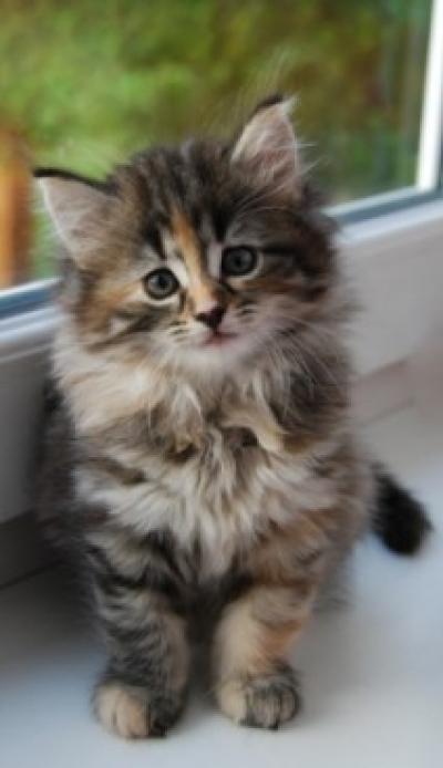 Котка Мейн Куун