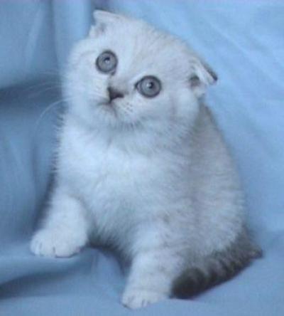 Чинчила - клепоухо мъжко коте