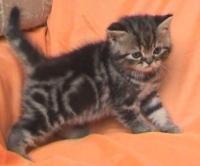 Късокосместо персийско мъжко котенце