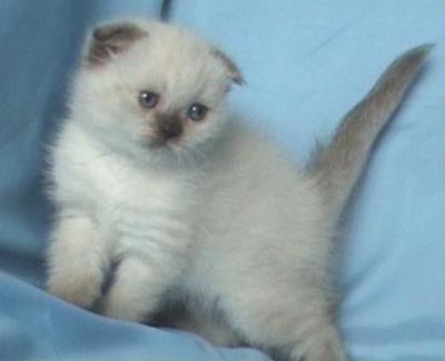 Клепоухо котенце със сини очи