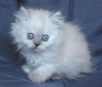 Колорпойнт със сини очи