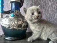 Британски котета