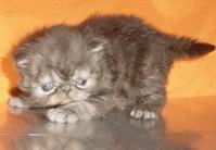 Малки персийски котенца.
