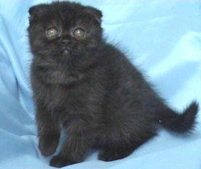 Шотландско клепоухо женско котенце