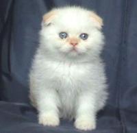 Мъжки колорпойнт със сини очи