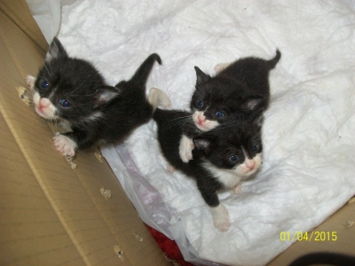 Подарявам три малки черно-бели котета