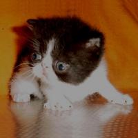 Персийско екзотично котенце
