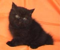 Късокосместо черно мъжко котенце