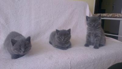 Британски сини котенца