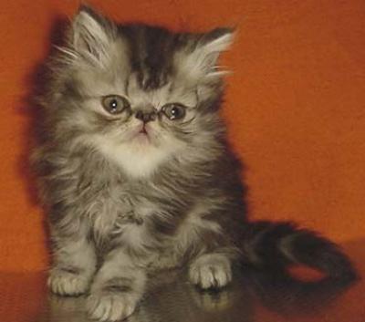 Персийски котенца-промоции-голям избор