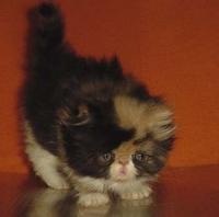 Трицветни персийски котенца