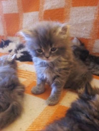 персийски котета класик