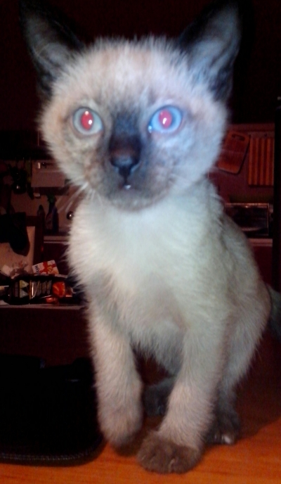Сиамско коте