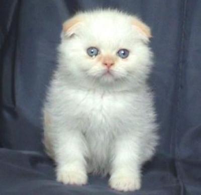 Мъжко клепоухо котенце колорпойнт със сини очи