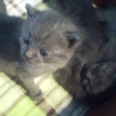 Руски сини котета