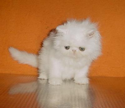 Две бели персийски котенца (шоу качество)