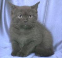 Развъдник за чистокръвна Британска котка