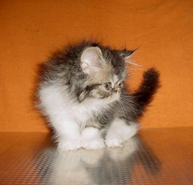 Персийски котенца - различни цветове