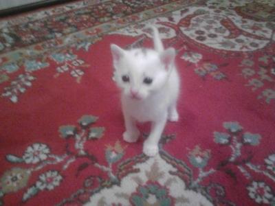 Подарявам чисто бели котенца