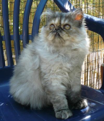 Чистокръвни персийски котета