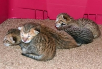 очарователни савана котенца