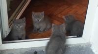 Британски котенца се продават