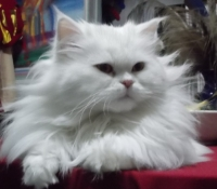 Продавам бяла персийска котка