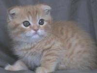 Продавам клепоухо късокосместо котенце