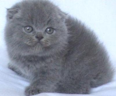 Синьо клепоухо женско котенце