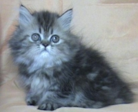 Персийско женско котенце