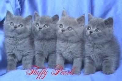 Британски късокосмести сини и лилави котенца о