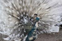 Ферма за пауни - продава пауни