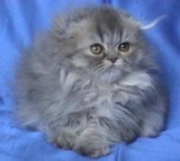 Сребристо дългокосместо клепоухо котенце