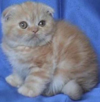 Клепоухо женско котенце