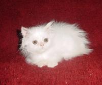 Бяло персийско коте