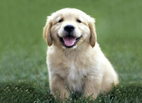 Bebeta Golden Retrivyrcheta