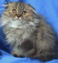 Клепоухо дългокосместо котенце
