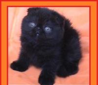 Черно клепоухо късокосместо котенце