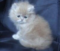 Класическо персийско котенце