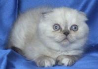 Klepouho kotentse sys sini ochi