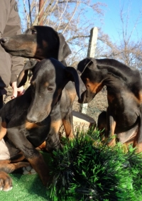 doberman,dobermani