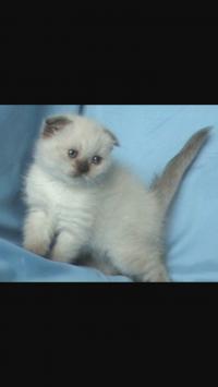 Купувам клепоухо или персийско котенце