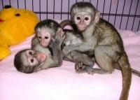 маймуна бебета и шимпанзе бебета за продажба (