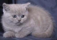 Razvydnik za chistokryvna Britanska kotka